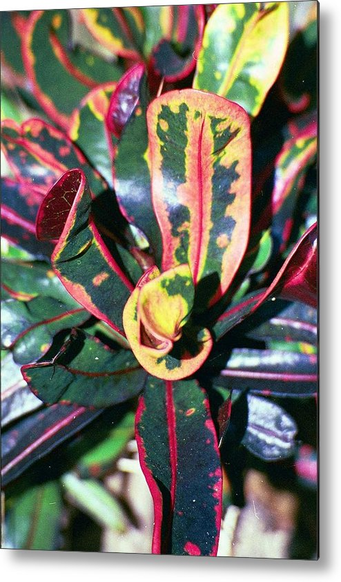 Plants Metal Print featuring the photograph Curly Croton by Carol Steele