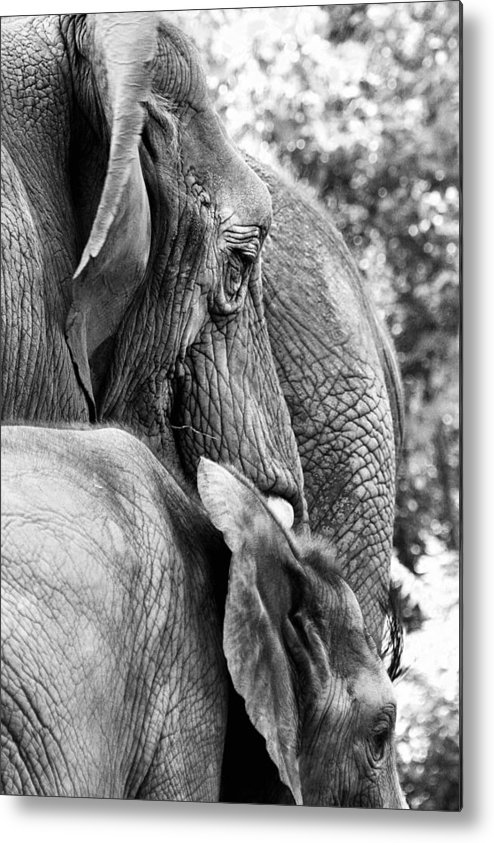 African Elephant Metal Print featuring the photograph Elephant Ears by Angela Rath