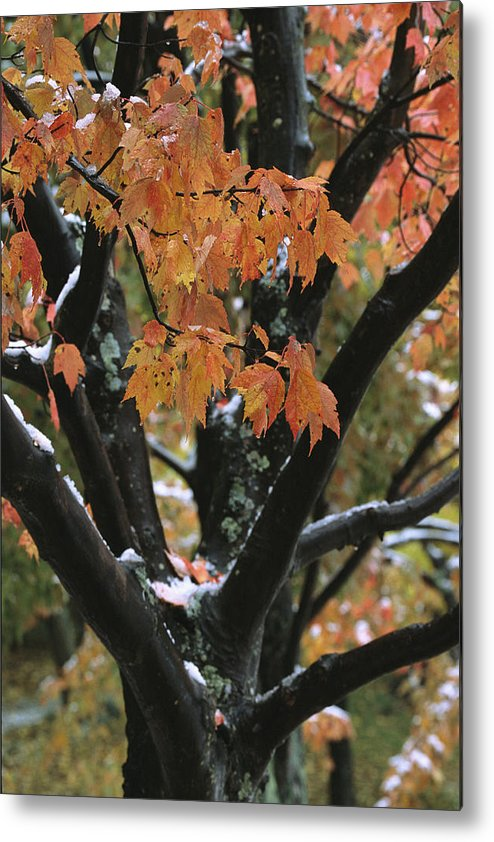 Outdoors Metal Print featuring the photograph Fall Foliage Of Maple Tree After An by Tim Laman