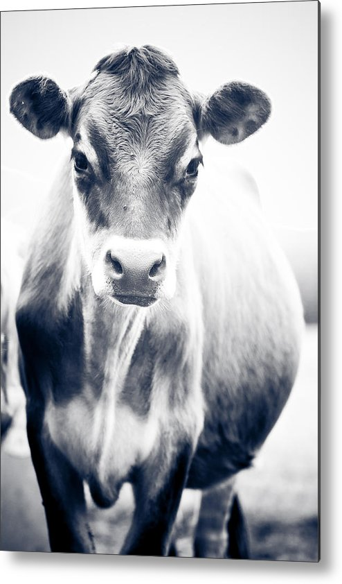 Cow Metal Print featuring the photograph Ghost Cow 1 by Ben Porway
