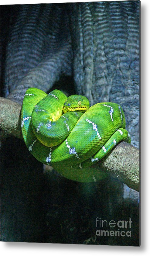 Snakes Metal Print featuring the photograph Green Snake by Randy Harris