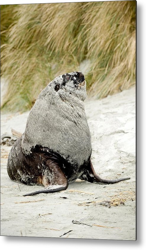 Hooker's Sea Lion Metal Print featuring the photograph Hooker's Sea Lion by Tony Camacho