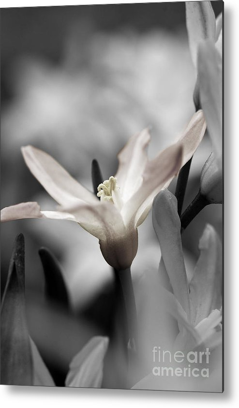 Spring Bulbs Metal Print featuring the photograph Hush by Catherine Fenner