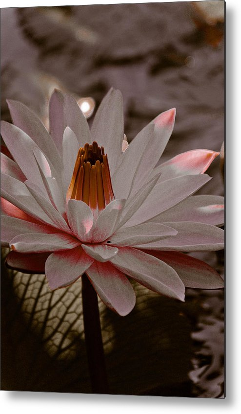 Lily Metal Print featuring the photograph Lil Peachy by Trish Tritz