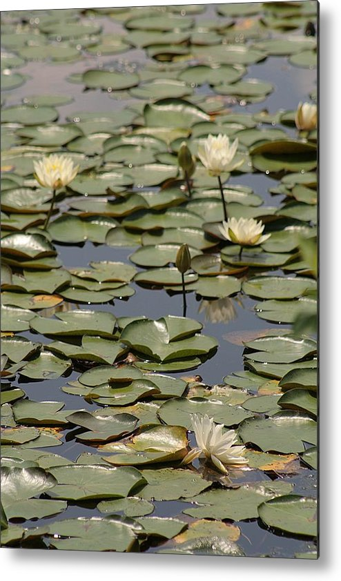 Lily Pad Metal Print featuring the photograph Lily 1 by Jesse Baker