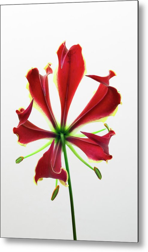 Lily Metal Print featuring the photograph Lily Still Life 2 by Robert Ullmann