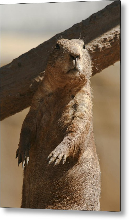 Prairie Dog Metal Print featuring the photograph Lookin For My Shadow by Mark Michel
