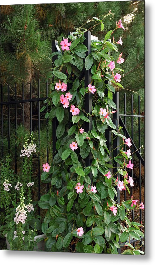 Mandevilla Vine With Pink Flowers Metal Print By Darlyne A Murawski