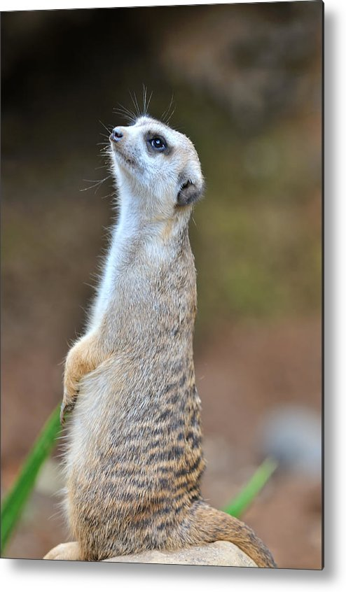 Vertical Metal Print featuring the photograph Meerkat by TeeJe