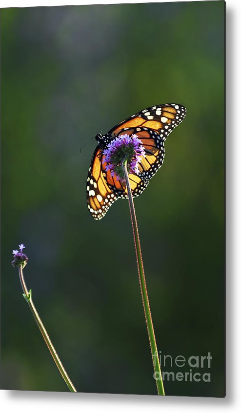 Butterfly Metal Print featuring the photograph Monarch Butterfly by Elena Elisseeva