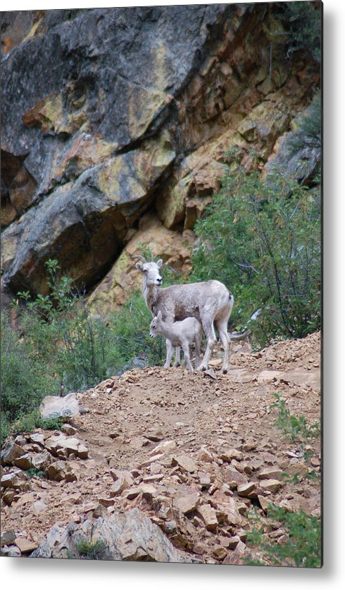 Bighorn Sheep Metal Print featuring the photograph Mothers Shelter by Steve McKinzie