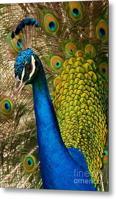Bird Metal Print featuring the photograph Peacock Stare by Phil Huettner