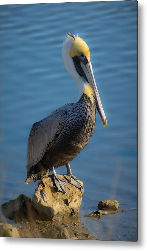 Pelican Metal Print featuring the photograph Pelican by Matthew Trudeau