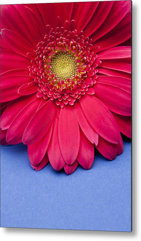 Vertical Metal Print featuring the photograph Pink Gerbera Daisy On Blue Background by Jill Fromer