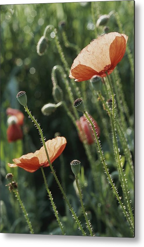 Europe Metal Print featuring the photograph Poppies In A Field In Provence by Nicole Duplaix
