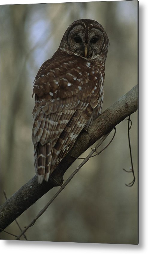 Stephensville Metal Print featuring the photograph Portrait Of A Barred Owl Perched by Tyrone Turner
