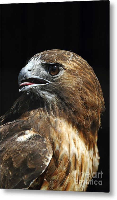 Red-tailed Hawk Metal Print featuring the photograph Red-tailed Hawk Portrait by John Van Decker