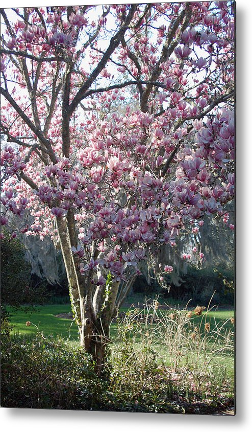 Magnolia Metal Print featuring the photograph Spring Blooming by Suzanne Gaff