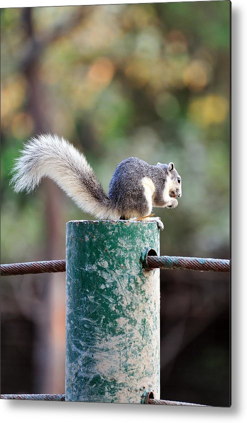 Vertical Metal Print featuring the photograph Squirrel by Vudhikrai Sovannakran