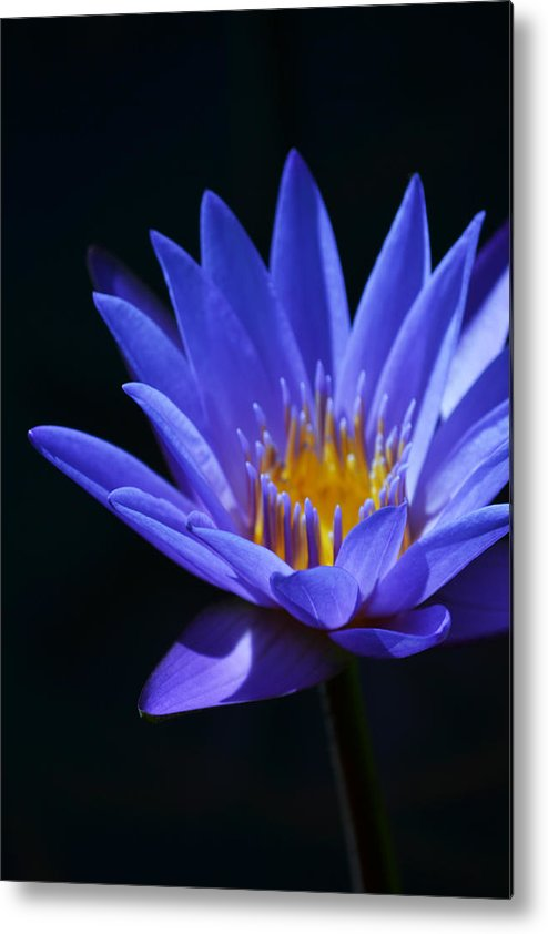 Waterlily Metal Print featuring the photograph Standing Tall by Melanie Moraga