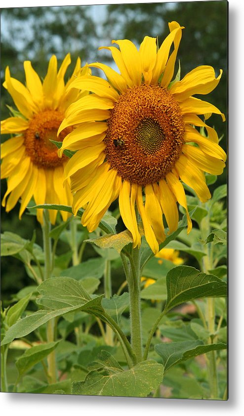 Sunflower Metal Print featuring the photograph Sweet Sunflowers by Beverly Kobee