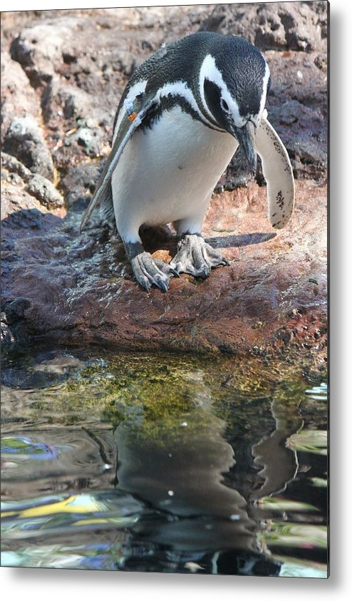 Penguin Metal Print featuring the photograph Taking The Plunge by Natalie Markova