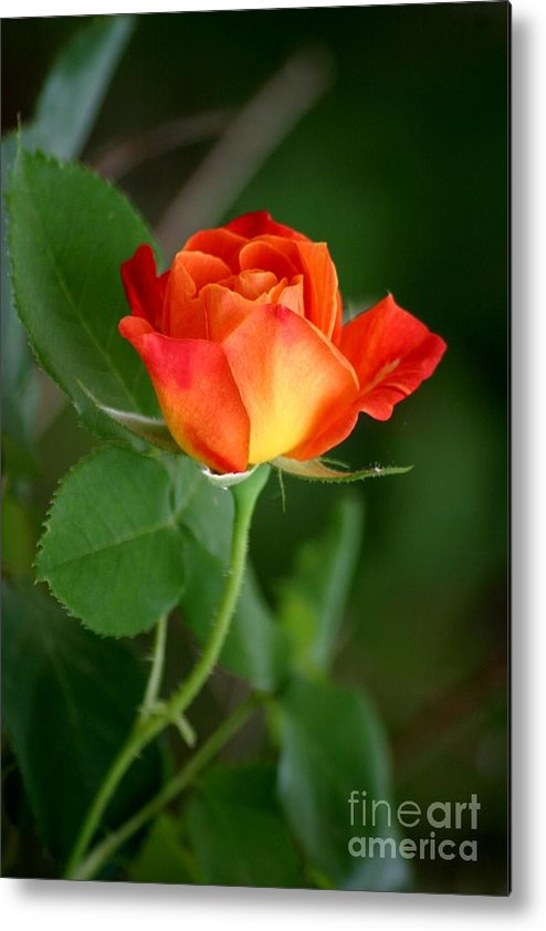 Roses Metal Print featuring the photograph Touch Of Summer by Living Color Photography Lorraine Lynch