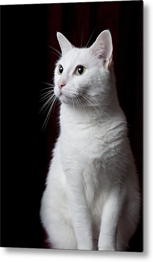 Vertical Metal Print featuring the photograph White Cat by Photo by Dee Dee Yelverton