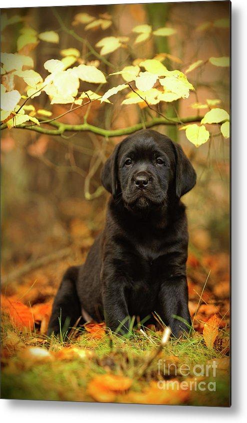 Labrador Retriever Metal Print featuring the photograph Black Labrador Retriever Puppy by Waldek Dabrowski