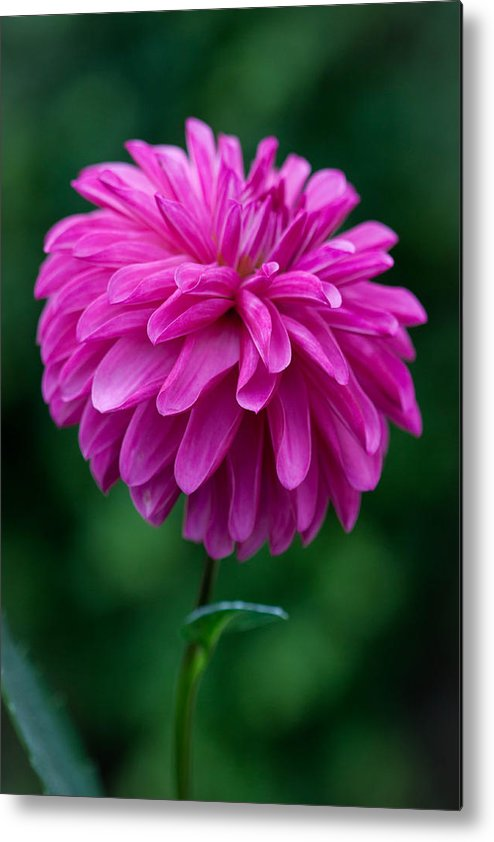 Flower Metal Print featuring the photograph Dahlia Field by Paul Slebodnick