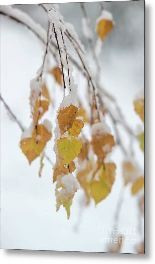 Autumn October Winter First Snow Cover Tree Branches Yellow Leaf Leaves Trees Birch Branch Metal Print featuring the pyrography First Snow by Anita Raunio