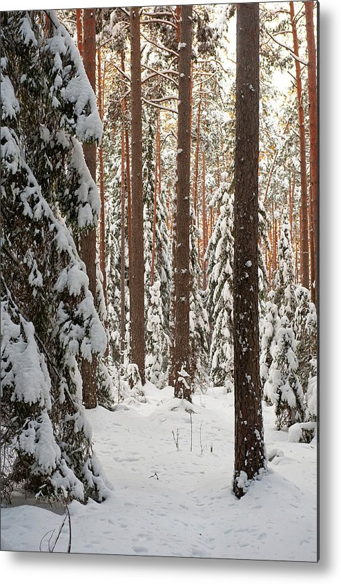 Tree Metal Print featuring the photograph Forest In Winter by Roberts Ratuts