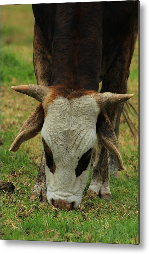 Cattle Metal Print featuring the photograph Head Of A Bull by Robert Hamm