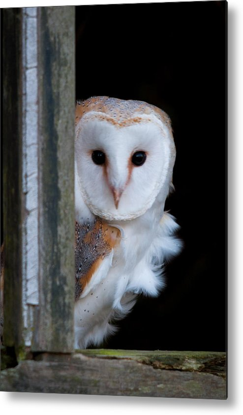 Owl Metal Print featuring the photograph Barn Owl by Phil Scarlett