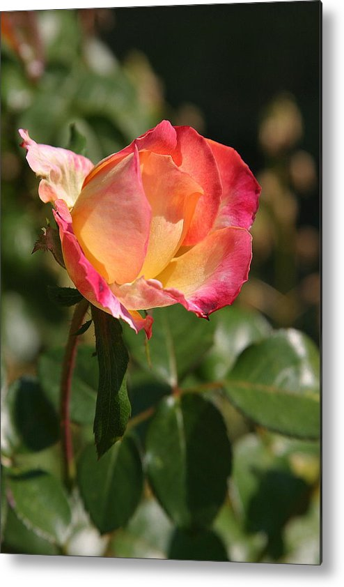 Rose Metal Print featuring the photograph Rose by Donald Tusa