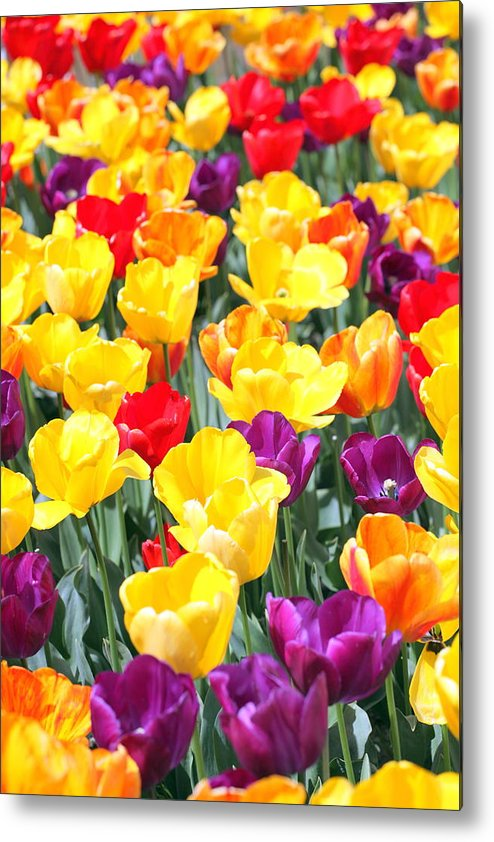 Amsterdam Metal Print featuring the photograph Amsterdam Tulips. by Oscar Williams