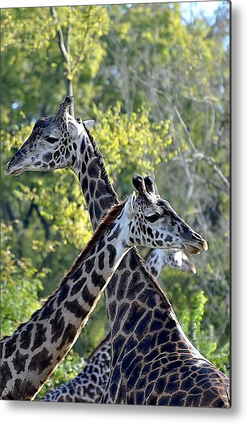 Animals Metal Print featuring the photograph 3 Heads Are Better Than 1 by Jan Amiss Photography