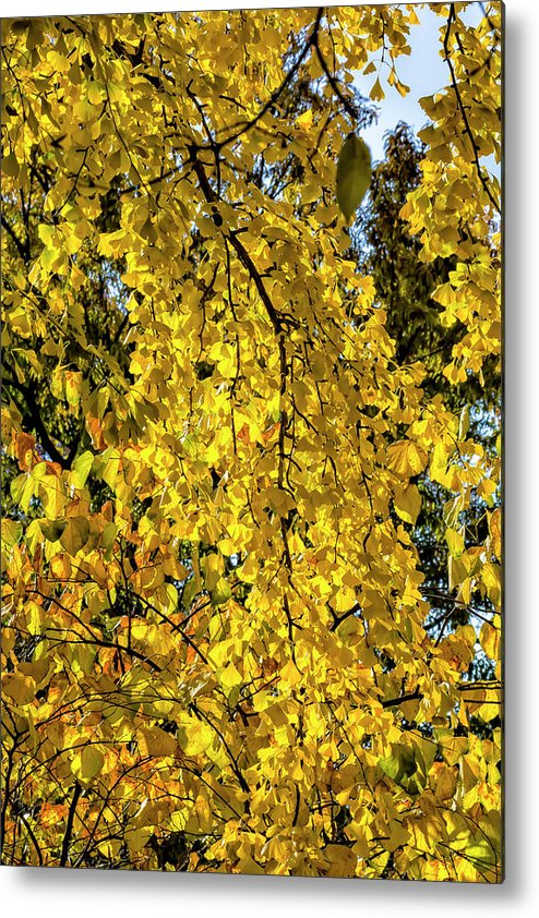 Fall Trees Metal Print featuring the photograph Fall Leaves by Robert Ullmann