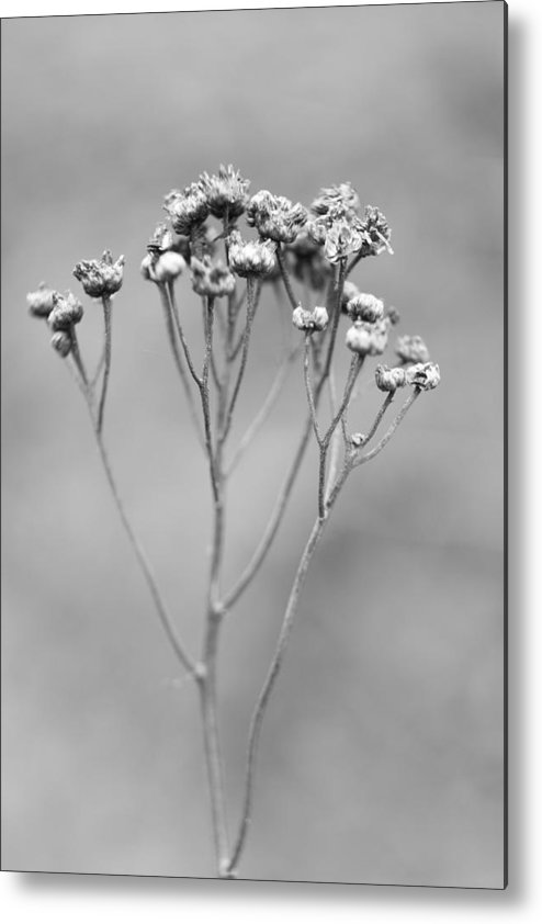 Flower Metal Print featuring the photograph Delicate by Gabriela Insuratelu