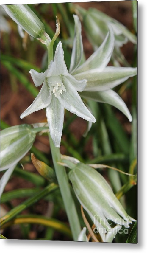 White Bloom Metal Print featuring the photograph White Bloom by Patrick Short