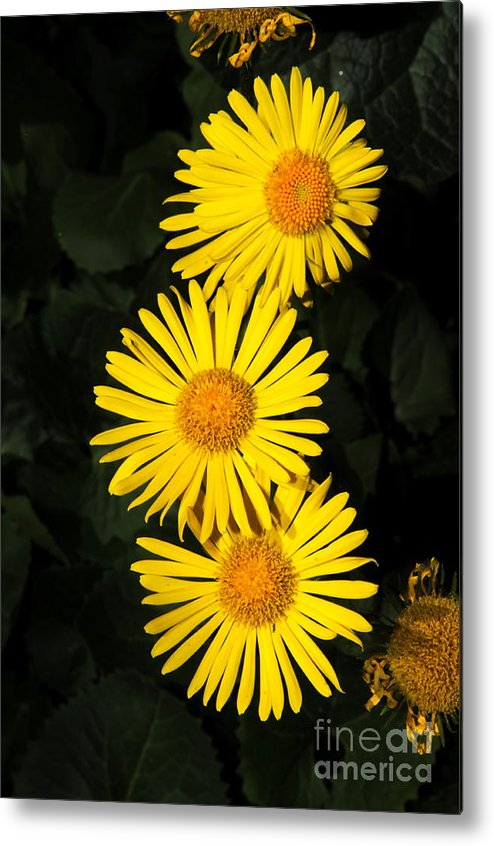 Yellow Flowers Metal Print featuring the photograph Yellow Flowers by Patrick Short