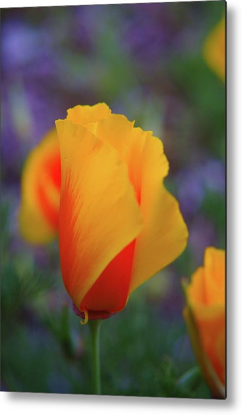 Poppies Metal Print featuring the photograph A Poppy Furled by Jeff Swan