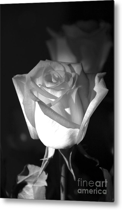 Rose Metal Print featuring the photograph A Rose by Kenneth Hess
