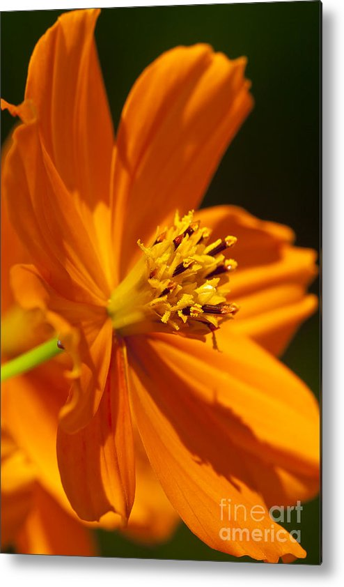 Flora; Flower; Floral; Bloom; Blossom; Vivid; Bright; Brilliant; Vibrant; Intense; Detail; Macro; Micro; Close-up; Close; Up; Nature; Natural; Botany; Botanical; Garden; Gardening; Grow; Growing; Fine; Art; Decor; Office; Home; Cosmos; Plant; Decoration; Daisy-like; Sunflower Metal Print featuring the photograph Ablaze by Finesse Fine Art