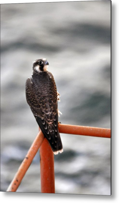 Hawk Metal Print featuring the photograph American Kestrel by Bill Perry