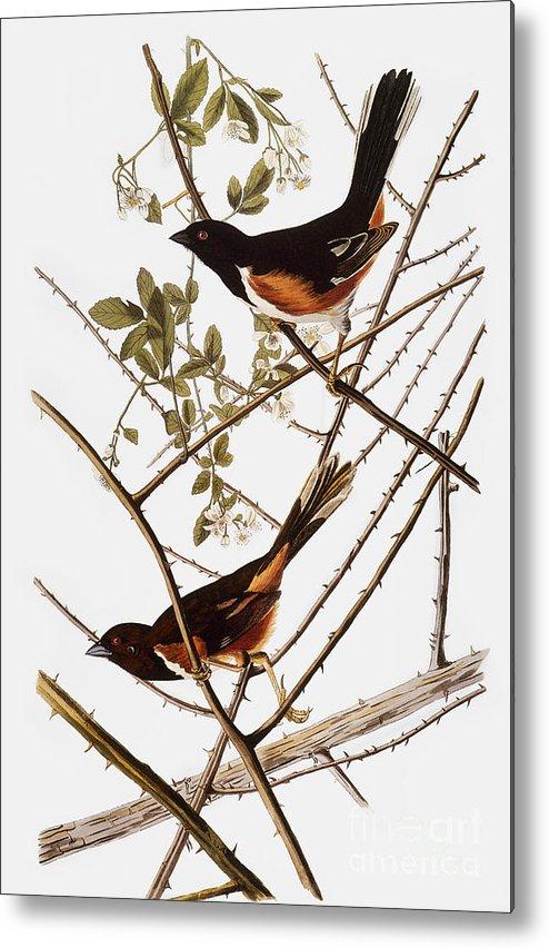 1838 Metal Print featuring the photograph Audubon: Towhee by Granger