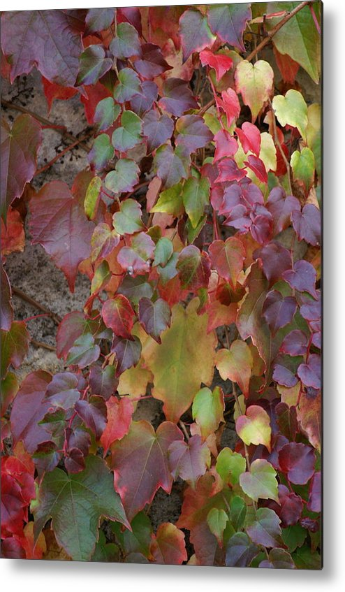 Ivy Metal Print featuring the photograph Autumn Ivy by Jessica Rose
