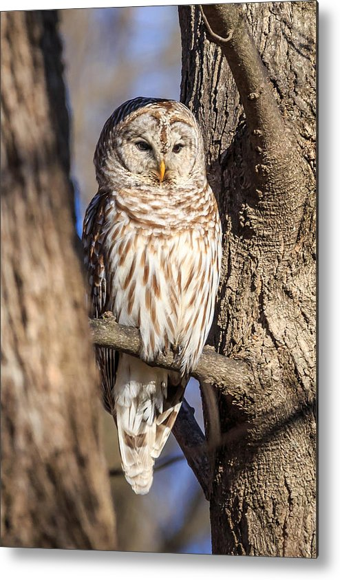 Barred Owls Metal Print featuring the photograph Barred Owl by Paul Schultz