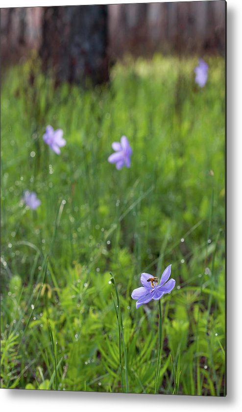 Batram's Ixia And Bee Metal Print featuring the photograph Bartram's Ixia And Bee #3 by Paul Rebmann