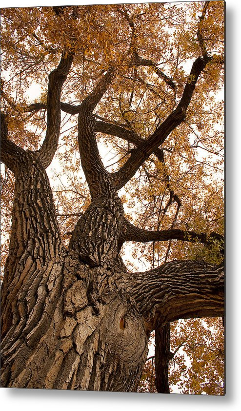 Giant Metal Print featuring the photograph Big Tree by James BO Insogna